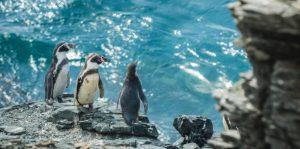 Pingüinos en la Isla Cachagua - Rent a Car